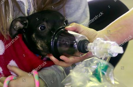 """An oxygen mask is demonstrated on Juliet, a pit bull mix, in Detroit. The Detroit Fire Department is the recipient of more than 800 pet oxygen masks from local groups and companies mobilized to donate close to 300 pet oxygen mask kits - containing the 800-plus masks - after learning about a house fire in which firefighters saved 15 of 17 trapped dogs. Dr. Maddy Lutz, an emergency veterinarian with Advanced Animal Emergency, said: """"The most important thing about these kind of emergencies is getting oxygen to the pet as quickly as possible"""