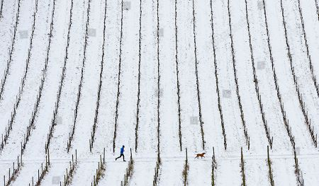 A jogger runs through the vines at Denbies Vineyard after overnight snow and freezing temperatures. Amber weather warnings remain in place for parts of the UK for a second day.