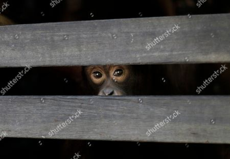 "Stock Photo of A juvenile orangutan peers from the slats of a wooden sleeping cage at a care center in Pasir Panjang, Central Kalimantan, Indonesia. Hundreds of orangutans live at the rehabilitation center waiting to be released into the wild. A half-century ago, more than three-quarters of Indonesia, a sprawling archipelagic nation spanning the width of the United States, was blanketed in plush tropical rainforest. But in the rush to supply the world with pulp, paper and, more recently palm oil _ used in everything from lipstick and soap to ""clean-burning"" fuel _ half those trees have been cleared. For the first time in years, scientist Birute Mary Galdikas has hopes of releasing them into the wild, thanks to a Hong Kong-based development company's plans to protect a 224,866-acre stretch of forest"
