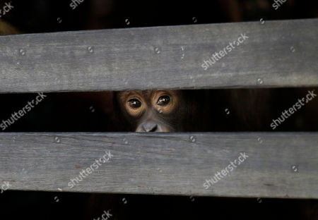 "A juvenile orangutan peers from the slats of a wooden sleeping cage at a care center in Pasir Panjang, Central Kalimantan, Indonesia. Hundreds of orangutans live at the rehabilitation center waiting to be released into the wild. A half-century ago, more than three-quarters of Indonesia, a sprawling archipelagic nation spanning the width of the United States, was blanketed in plush tropical rainforest. But in the rush to supply the world with pulp, paper and, more recently palm oil _ used in everything from lipstick and soap to ""clean-burning"" fuel _ half those trees have been cleared. For the first time in years, scientist Birute Mary Galdikas has hopes of releasing them into the wild, thanks to a Hong Kong-based development company's plans to protect a 224,866-acre stretch of forest"