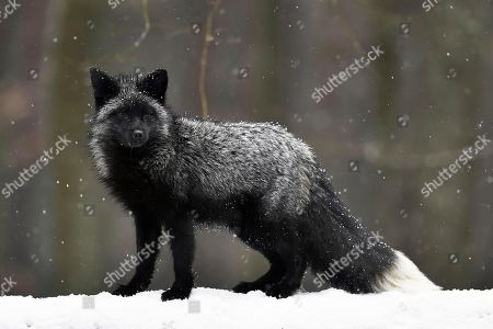 Stock Image of Silver fox, dark-black, colour variation of the Red fox (Vulpes vulpes), in snowfall, captive, Czech Republic