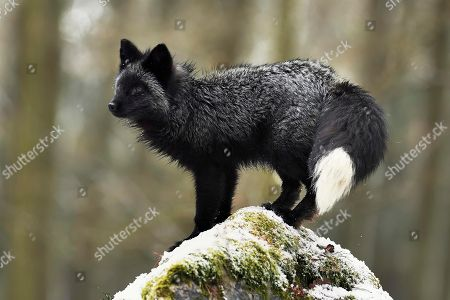 Stock Picture of Silver fox, dark-black, colour variation of the Red fox (Vulpes vulpes), stands on a stone, captive, Czech Republic