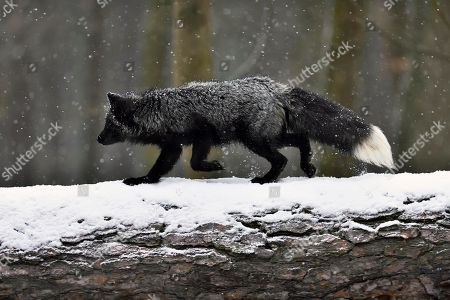 Stock Photo of Silver fox, dark-black, colour variation of the Red fox (Vulpes vulpes), runs over a tree trunk in snowfall, captive, Czech Republic