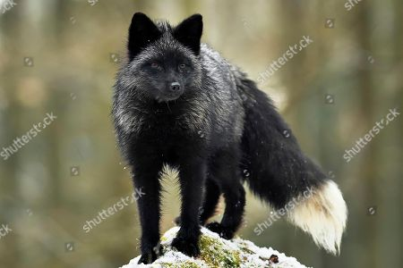 Silver fox, dark-black, colour variation of the Red fox (Vulpes vulpes), stands on a stone, captive, Czech Republic