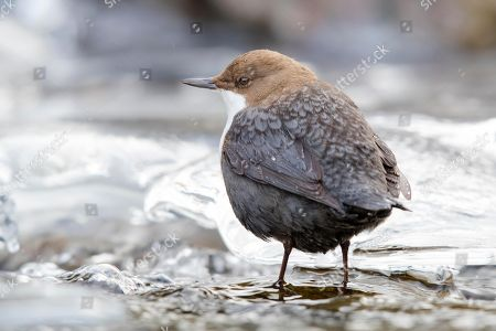 White-throated Dipper (Cinclus cinclus) sits on stone in the icy mountain stream, Stubai Valley, Tyrol, Austria