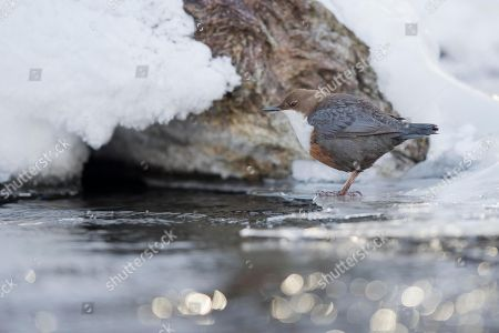 White-throated Dipper (Cinclus cinclus) sits on ice at the water, Stubai Valley, Tyrol, Austria