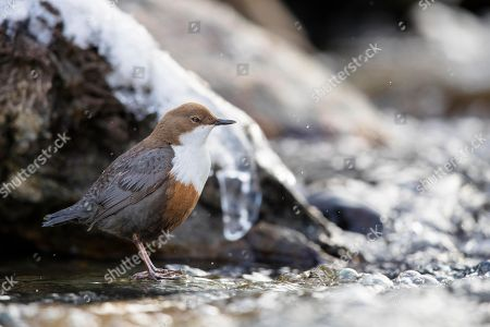 White-throated Dipper (Cinclus cinclus) sits on stone in the mountain stream, winter, Stubai Valley, Tyrol, Austria