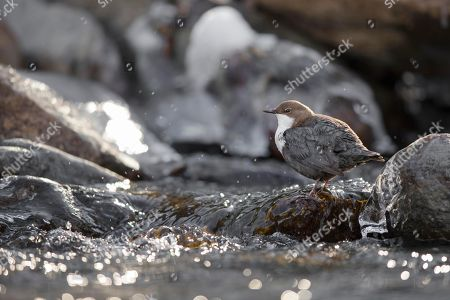White-throated Dipper (Cinclus cinclus) sits on stone in the mountain stream, Stubai Valley, Tyrol, Austria
