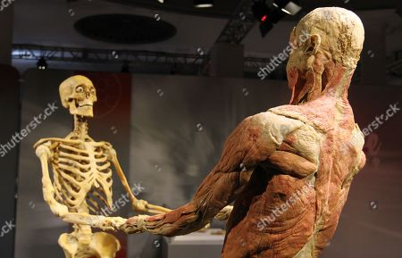 The skeleton and muscles structure from the same person are seen at the 'Real Bodies: The Exhibition' at Byron Kennedy Hall, Entertainment Quarter, Moore Park in Sydney, New South Wales, Australia, 12 April 2018. The exhibition consists of 11 galleries, containing 20 real human bodies and 200 real human parts.