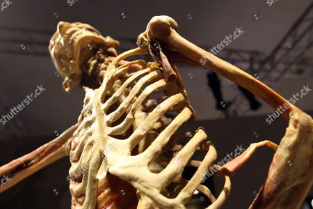 Stock Picture of A human skeleton is seen at the 'Real Bodies: The Exhibition' at Byron Kennedy Hall, Entertainment Quarter, Moore Park in Sydney, New South Wales, Australia, 12 April 2018. The exhibition consists of 11 galleries, containing 20 real human bodies and 200 real human parts.