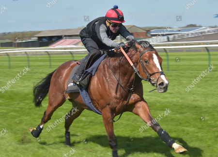 Stock Photo of Rajasinghe and rider Michael Hills on a gallop at Newmarket as preparation for The Guineas meeting in May.