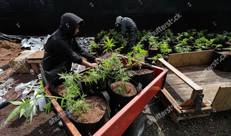 Alex Martin, left, and Macrio Ahlon, right, load transplanted marijuana plants into a trailer as they work at the Hollingsworth Cannabis Company near Shelton, Wash. Hollingsworth family members own a marijuana farm south of Seattle, where they grow about 9,000 plants and employ 30 people at peak harvesting