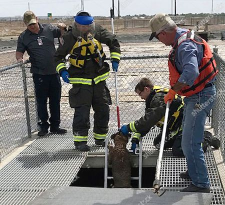 This, photo provided by the Pueblo West Fire Department shows Gidget, an English mastiff belonging to Mandi Smith, of Pueblo West, Colo., being rescued by Pueblo West Fire Capt. Mike Darnell, firefighter Jacob Naro, fire personnel Bradley Stevens and Pueblo West wastewater treatment employee Tony Campbell at the Pueblo West Wastewater Treatment Plant. Gidget, a 2-year-old English mastiff led astray by an escape-prone hound dog, is happy to be home, but still stinks after being found stranded in muck at a wastewater treatment plant in Colorado