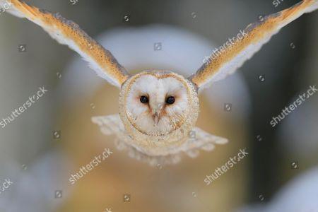 Stock Photo of Common barn owl (Tyto alba), in flight, winter, Moravia, Czech Republic