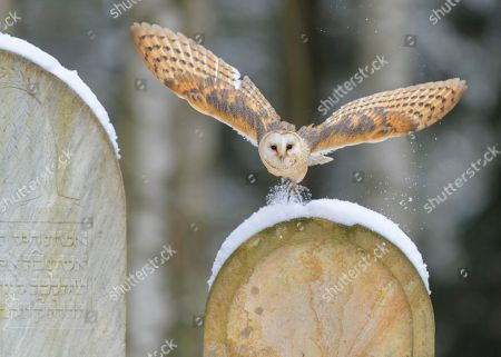 Common barn owl (Tyto alba), flying over snow-covered gravestones in a cemetery, Moravia, Czech Republic
