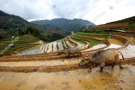 Water buffalos walk on a terraced rice field, in La Pan Tan commune, Mu Cang Chai, Yen Bai province, 22 May 2018.