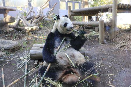 A female giant panda Shin Shin is seen at Ueno Zoo in Tokyo, Japan.