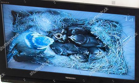 Sir Max Hastings And Wife Penny Bird Watching 16/05/17. Sir Max Hastings With His Wife Penny Watch Their Nest Of Blue Tits On Webcam From Their Kitchen At Their Home Near Hungerford. Picture Shows Nest Of Blue Tits Via Webcam.