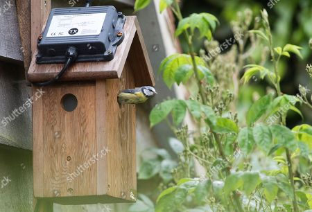 Sir Max Hastings And Wife Penny Bird Watching 16/05/17. Sir Max Hastings With His Wife Penny Watch Their Nest Of Blue Tits On Webcam From Their Kitchen At Their Home Near Hungerford. Picture Shows One Of The Parent Blue Tits Leaving The Nest For Food For Their Offspring.