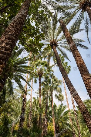 Tropical vegetation with palm trees, Jardin Majorelle botanical garden, former owners Yves Saint-Laurent and Pierre Berge, Marrakech, Morocco