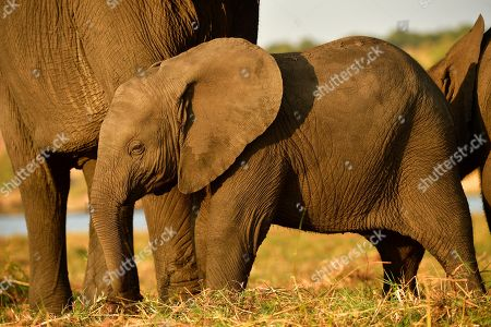 Little Elephant (Loxodonta africana) stands in front of mother animal, Chobe National Park, Botswana