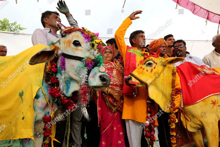 Cow and bull marriage ritual to appease rain god, Bhopal