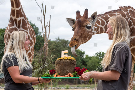 Stock Photo of Giraffe keepers Charlotte Lennon and Ellie Adams feed a birthday cake to the giraffes to celebrate that the Wild Place Project is five years old on Sunday (July 22). It?s been over a year since three young giraffe arrived at Wild Place Project. Giraffes Dayo, Gerry and Tom, arrived at the attraction last May 2017. The three young males have done plenty of growing in that time, but have not yet reached full maturity and will get even taller yet. The biggest giraffe, Gerry, celebrated his fourth birthday in May 2018 and now stands at more than 4m (13ft) tall. Tom is the smallest of the three, at just two and a half years old, and in the middle is Dayo, who turned three in March. Giraffe reach maturity at around five years old and can grow up to 5m (16.5ft) tall.