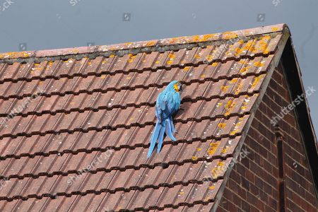 A parrot stuck on a roof for three days greeted firefighters sent to its aid with a four-letter tirade. Jessie, the multi-lingual Macaw, flipped the bird after escaping from her owner's home in Edmonton, north London. When she could not be lured down from a neighbour's roof, firefighters were called out and told to tell the bird 'I love you' - to which Jessie replied 'I love you back'. But she then ruffled her would-be rescuers' feathers by telling them to 'f**k off' before flying off to another nearby rooftop. The foul-mouthed pet also speaks Turkish and Greek according to its owner, but had its own choice words in English for the rescue team. Watch Manager Chris Swallow said: 'Jessie had been on the same roof for three days and there were concerns that she may be injured which is why she hadn't come down. 'Our crew manager was the willing volunteer who went up the ladder to try and bring Jessie down. 'We were told that to bond with the parrot, you have to tell her 'I love you', which is exactly what the crew manager did.' Mr Swallow continued: 'While Jessie responded 'I love you' back, we then discovered that she had a bit of a foul mouth and kept swearing, much to our amusement. 'Jessie also speaks Turkish and Greek, so we tried telling her to 'come' in both those languages too. 'Thankfully it soon became apparent that Jessie was fine and uninjured as she flew off to another roof and then to a tree.' As Jessie wasn't injured, the firefighters, who had been called in by the RSPCA, left her on her perch. The parrot was later reunited with its owner.