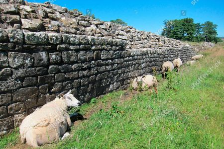 Sheep rest in the lee of a section of Hadrian's Wall, in Cumbria, northern England. The wall was commissioned by the Roman emperor Hadrian and was begun around 122 AD, to control movement into and out of the empire. It cut right across what is now northern England, from coast to coast: a distance of 118 kilometers (73 miles