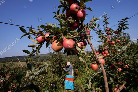 A farmer harvests apples at MOEA orchards in Kravarice, Kosovo, 30 August 2018. MOEA it is a private company established in 2006. With more than 500,000 fruit trees planted in active fruit fields over 200Ha, it makes MOEA one of the largest fruit producers in the region. MOEA cultivates strawberries, raspberries, aronia, blueberries, garlic, cherry, apricots, peaches, plums, apples, pears and berries. Starting in 2010, MOEA started processing fruit with a modern line and advanced fruit processing technology in the principle of cold juice extraction and fruit ripening, including in the juice content of the whole fruit, with all the fibers, vitamins and antioxidants.