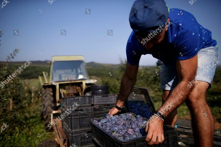 A farmer carries harvested plums at MOEA orchards in Kravarice, Kosovo, 30 August 2018. MOEA it is a private company established in 2006. With more than 500,000 fruit trees planted in active fruit fields over 200Ha, it makes MOEA one of the largest fruit producers in the region. MOEA cultivates strawberries, raspberries, aronia, blueberries, garlic, cherry, apricots, peaches, plums, apples, pears and berries. Starting in 2010, MOEA started processing fruit with a modern line and advanced fruit processing technology in the principle of cold juice extraction and fruit ripening, including in the juice content of the whole fruit, with all the fibers, vitamins and antioxidants.