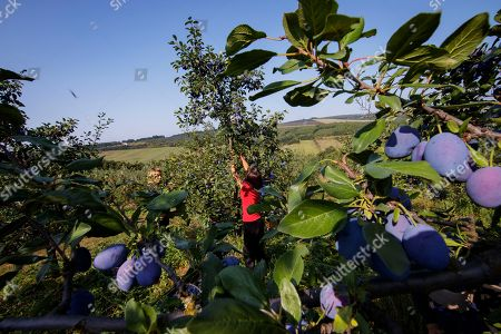 Farmers harvest plums at MOEA orchards in Kravarice, Kosovo, 30 August 2018. MOEA it is a private company established in 2006. With more than 500,000 fruit trees planted in active fruit fields over 200Ha, it makes MOEA one of the largest fruit producers in the region. MOEA cultivates strawberries, raspberries, aronia, blueberries, garlic, cherry, apricots, peaches, plums, apples, pears and berries. Starting in 2010, MOEA started processing fruit with a modern line and advanced fruit processing technology in the principle of cold juice extraction and fruit ripening, including in the juice content of the whole fruit, with all the fibers, vitamins and antioxidants.