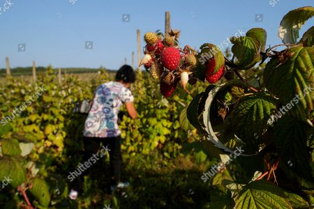 A female farmer harvests raspberries at MOEA orchards in Kravarice, Kosovo, 30 August 2018. MOEA it is a private company established in 2006. With more than 500,000 fruit trees planted in active fruit fields over 200Ha, it makes MOEA one of the largest fruit producers in the region. MOEA cultivates strawberries, raspberries, aronia, blueberries, garlic, cherry, apricots, peaches, plums, apples, pears and berries. Starting in 2010, MOEA started processing fruit with a modern line and advanced fruit processing technology in the principle of cold juice extraction and fruit ripening, including in the juice content of the whole fruit, with all the fibers, vitamins and antioxidants.