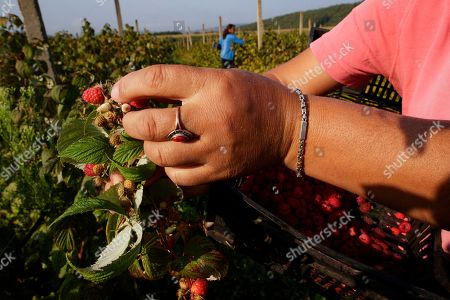 Female farmers harvest raspberries at MOEA orchards in Kravarice, Kosovo, 30 August 2018. MOEA it is a private company established in 2006. With more than 500,000 fruit trees planted in active fruit fields over 200Ha, it makes MOEA one of the largest fruit producers in the region. MOEA cultivates strawberries, raspberries, aronia, blueberries, garlic, cherry, apricots, peaches, plums, apples, pears and berries. Starting in 2010, MOEA started processing fruit with a modern line and advanced fruit processing technology in the principle of cold juice extraction and fruit ripening, including in the juice content of the whole fruit, with all the fibers, vitamins and antioxidants.