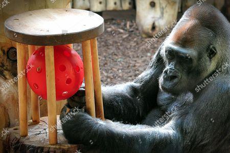 Western Lowland Gorilla at Dvur Kralove nad Labem Zoo