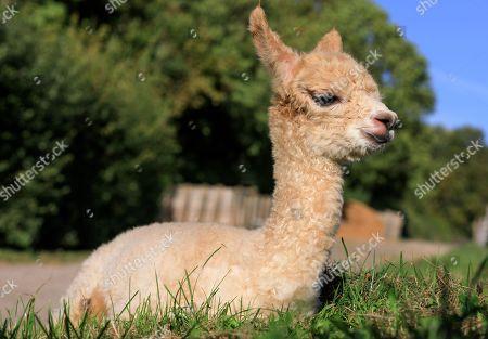 Baby alpaca born at Bocketts Farm, Surrey