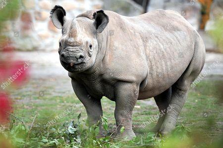 Black Rhinos at Dvur Kralove Safari Park