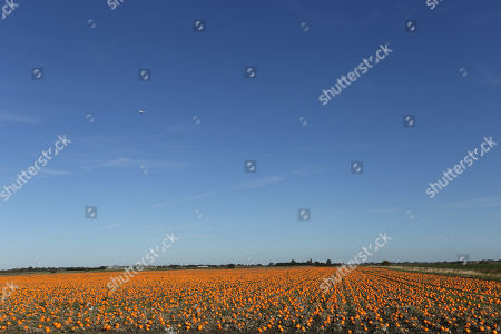 Pumpkins ripening in a field, Wisbech, Cambridgeshire