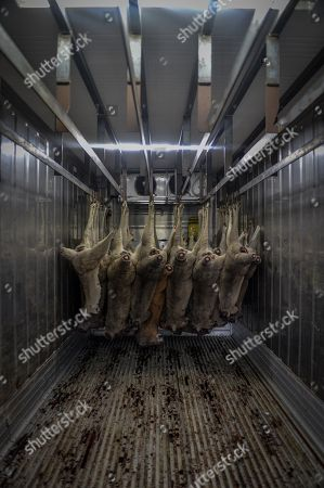 Dead Kangaroos are seen hanging inside a refrigerated space, belonging to Kangaroo harvester Paul Norris, outside Deniliquin in New South Wales, Australia, 01 October 2018 (issued 05 October 2018). One consequence of the drought, gripping much of eastern Australia, is that kangaroos are moving across the landscape in greater numbers, looking for food and water, leading to a spike in the number of car crashes involving the animals.