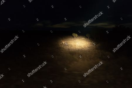 Stock Photo of A Kangaroo is caught in the spot light of  harvester Paul Norris outside Deniliquin in New South Wales, Australia, 01 October 2018 (issued 05 October 2018). One consequence of the drought, gripping much of eastern Australia, is that kangaroos are moving across the landscape in greater numbers, looking for food and water, leading to a spike in the number of car crashes involving the animals.