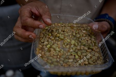 Agronomist Luis Arrieta inspects coffee beans that are in the germination process, to be planted in fields where peaches are grown in the coastal area of Carayaca on the outskirts of Caracas, Venezuela. The threat of the finch-like red siskin vanishing from the wild has brought together an international team including scientists from the United States and Venezuelan coffee farmers set on rescuing it from extinction