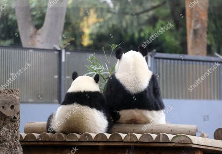 Giant panda cub Xiang Xiang (L) and its mother Shin Shin (R) eat bamboo at Ueno Zoo in Tokyo, Japan, 12 November 2018. Ueno Zoo said it will gradually separate giant panda cub Xiang Xiang from its mother Shin Shin, as cubs usually become independent at ages between 18 months and two years. Xiang Xiang was born on 12 June 2017 at the Ueno Zoo.