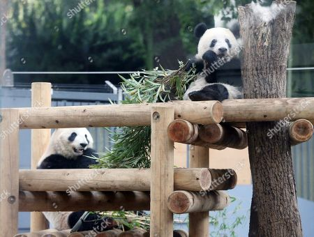 Giant panda cub Xiang Xiang (R) and its mother Shin Shin (L) eat bamboo at Ueno Zoo in Tokyo, Japan, 12 November 2018. Ueno Zoo said it will gradually separate giant panda cub Xiang Xiang from its mother Shin Shin, as cubs usually become independent at ages between 18 months and two years. Xiang Xiang was born on 12 June 2017 at the Ueno Zoo.