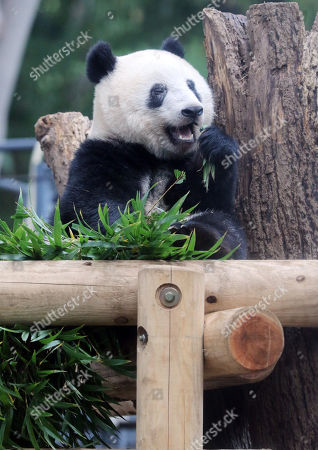 One year-old female giant panda Xiang Xiang eats bamboo leaves at the Ueno Zoological Gardens in Tokyo