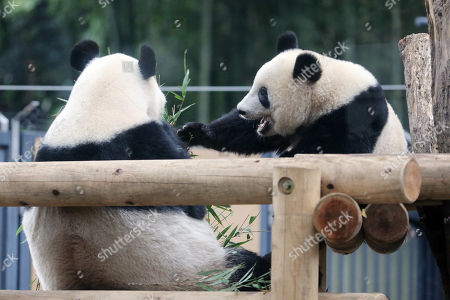 One year-old female giant panda Xiang Xiang (R) eats bamboo leaves with her mother Shin Shin (L) at the Ueno Zoological Gardens in Tokyo