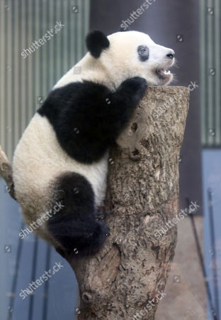 One year-old female giant panda Xiang Xiang climbs on a tree at the Ueno Zoological Gardens in Tokyo