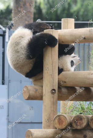Stock Image of One year-old female giant panda Xiang Xiang plays on a deck at the Ueno Zoological Gardens in Tokyo