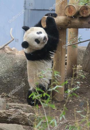 Editorial image of Giant panda Xiang Xiang and her mother Shin Shin at Ueno Zoological Gardens12 Nov 2018