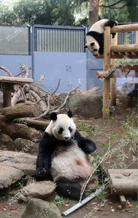 Editorial picture of Giant panda Xiang Xiang and her mother Shin Shin at Ueno Zoological Gardens12 Nov 2018