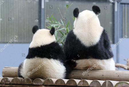 Editorial photo of Giant panda Xiang Xiang and her mother Shin Shin at Ueno Zoological Gardens12 Nov 2018